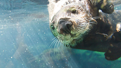 Sea Otter Awareness Week